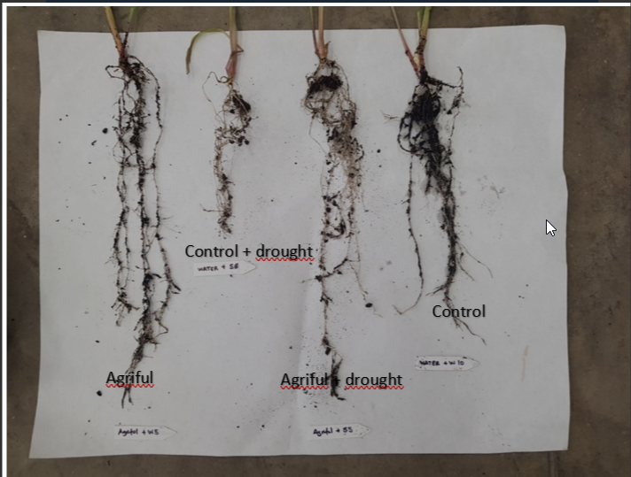 In Summer, the roots of many #crops are damaged due to the #drought that accompanies this period of the year. We want to show you how #Agriful improves resistance to this stress, obtaining bigger, s…